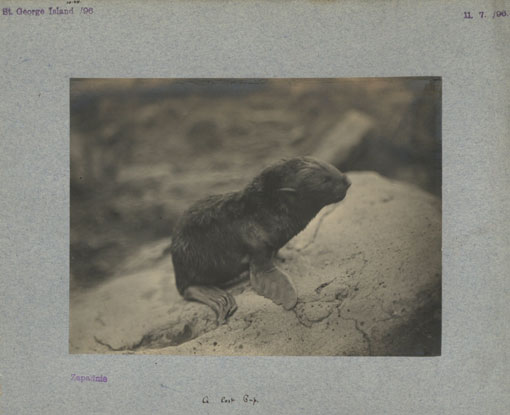 A lost pup in Zapdni Bay, St George Island, 1896. Catalogue reference: CO 1069/275