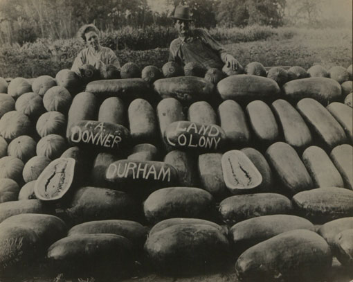 Donner melon patch on Durham state settlement, California. Catalogue reference: CO 1069/288