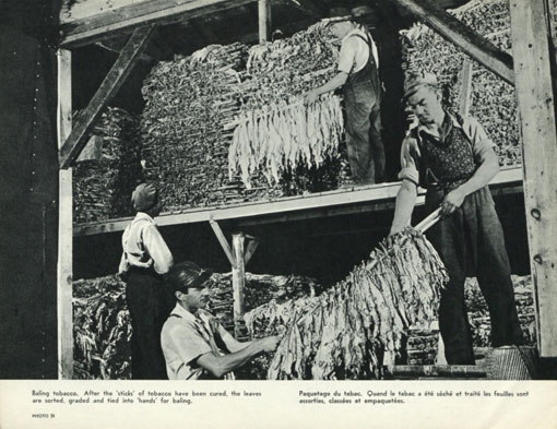 Bailing tobacco. After the 'sticks' of tobacco have been cured, the leaves are sorted, graded and tied into 'hands' for bailing. Canada 1963. Catalogue reference: CO 1069/295