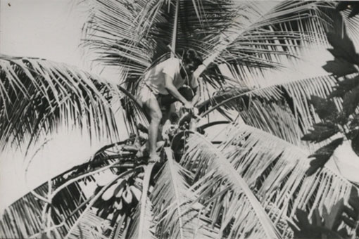 A toddy cutter collecting the sap from a coconut tree, Kiribati. Catalogue reference: CO 1069/645